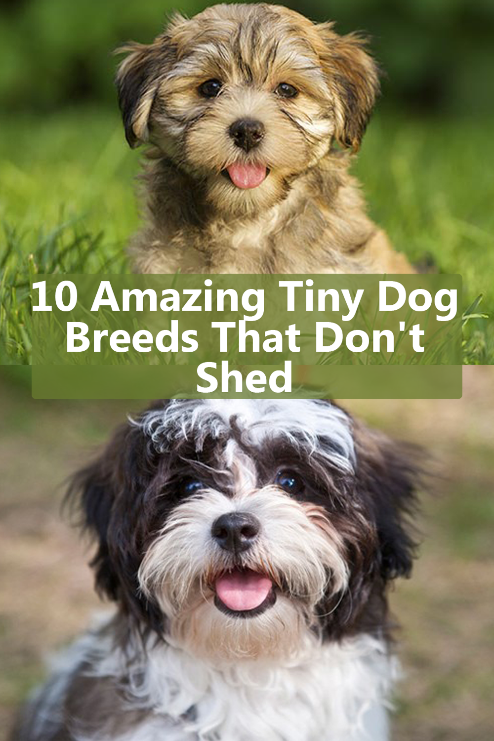 10 Amazing Tiny Dog Breeds That Don T Shed Best Small Dogs Dog Breeds That Dont Shed Best Small Dog Breeds