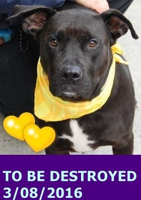 Brooklyn Center SIMON – A1061514 NEUTERED MALE, BLACK, AM PIT BULL TER MIX, 2 yrs STRAY – STRAY WAIT, HOLD FOR ID Reason STRAY Intake condition EXAM REQ Intake Date 12/26/2015 http://nycdogs.urgentpodr.org/simon-a1061514/