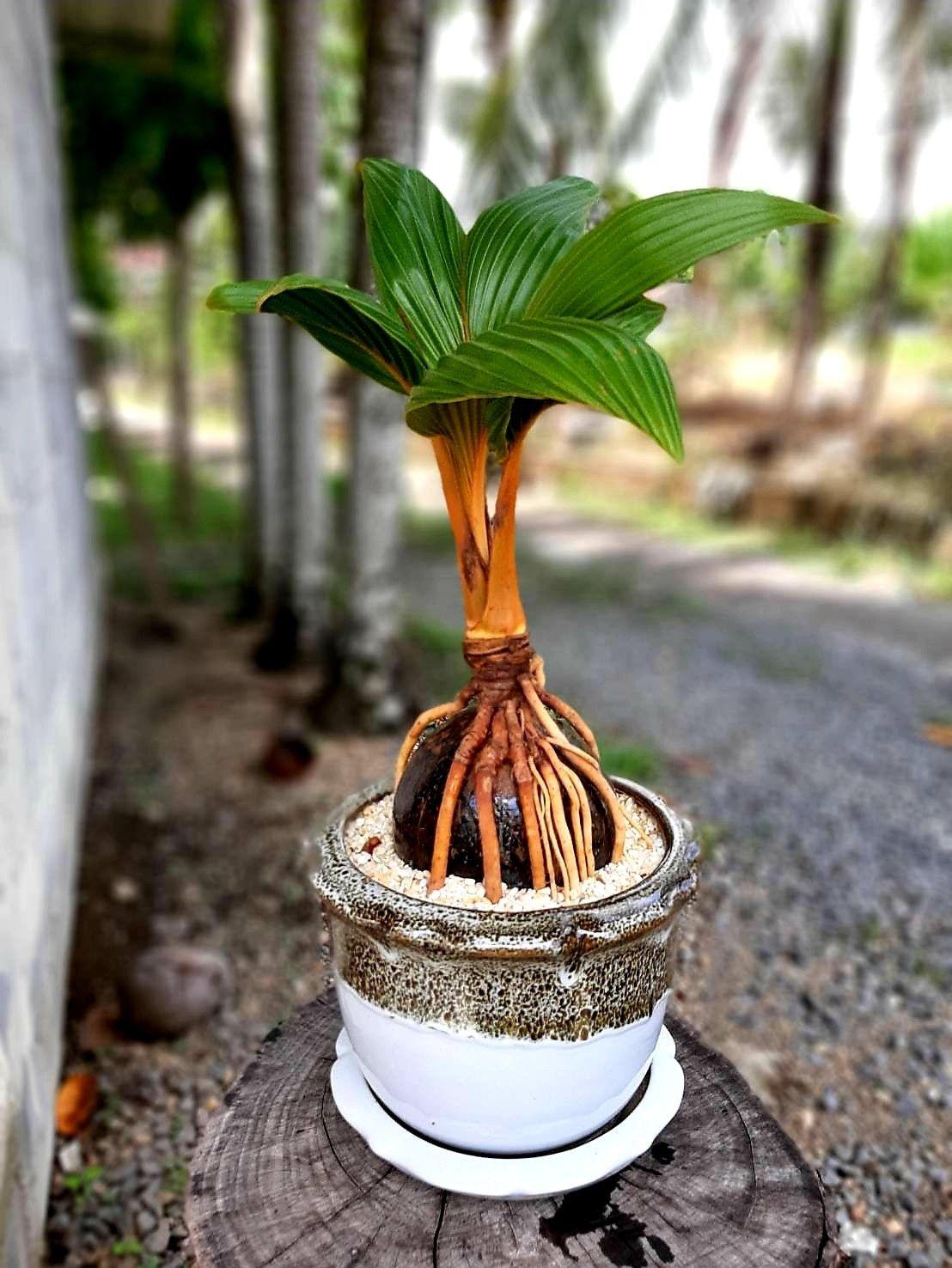มะพร้าวบอนไซ phuket Ideas de jardinería, Jardinería