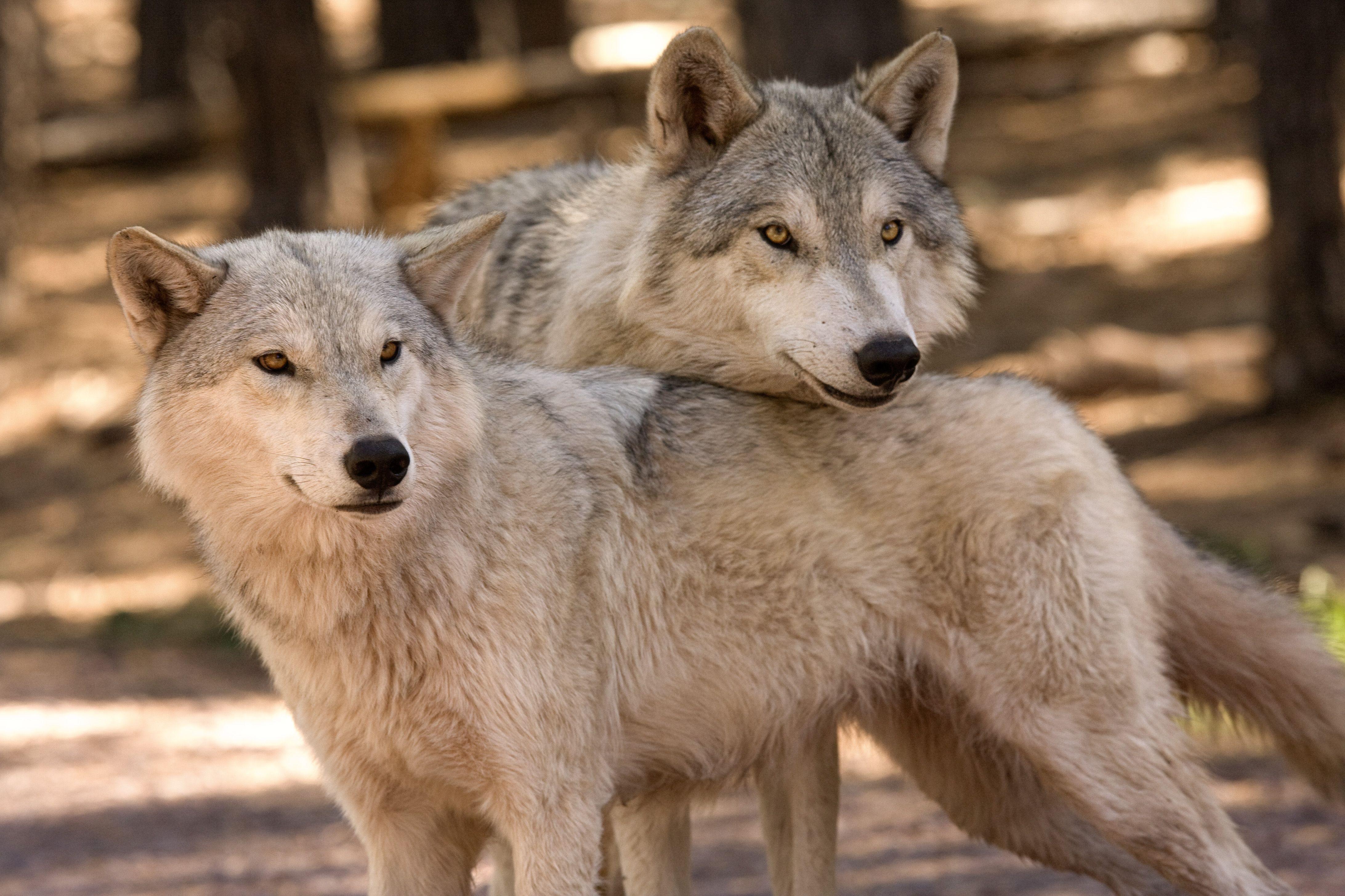 Bearizona Wildlife park drive, 3 hours from Phoenix, 20