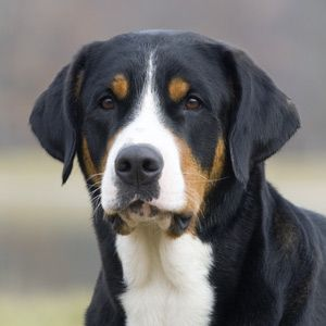 Betty The Greater Swiss Mountain Dog Entlebucher Mountain Dog Greater Swiss Mountain Dog Swiss Mountain Dogs