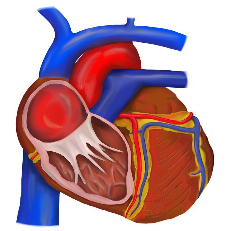 resusreview.com/ Schematic of heart with cutaway of right ventricle ...