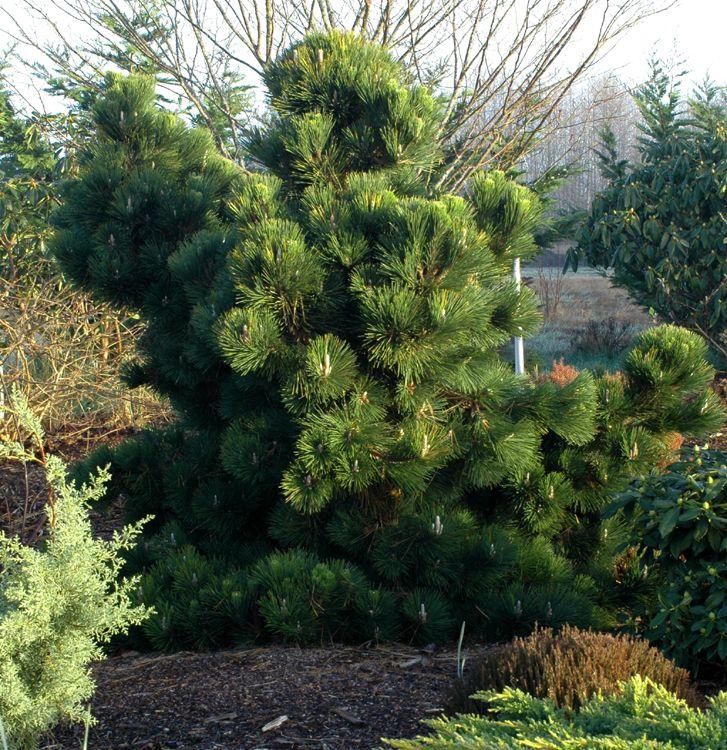 Dwarf Conifer: Pine 'Thunderhead'. Singing Tree Gardens