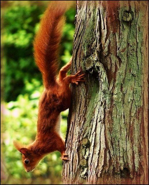 Egernet opholder sig i fyrretræer og grantræer, og spiser også nødder, bær, frugter og svampe. Så sørg for at have disse elementer i haven, og din chance for at tiltrække egern vil øges.