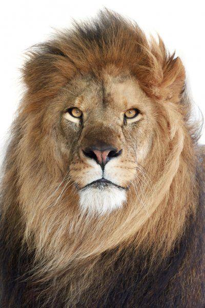 Lion (Panthera leo))