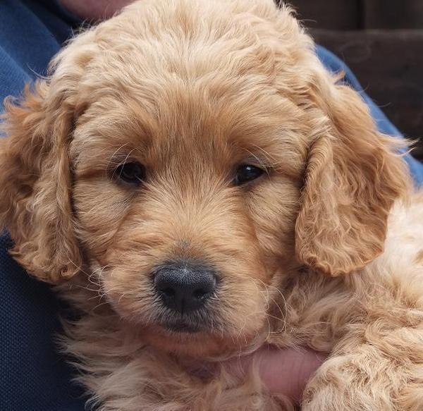 Bild 6 Hunde MEDIUM Goldendoodle Welpen Vater