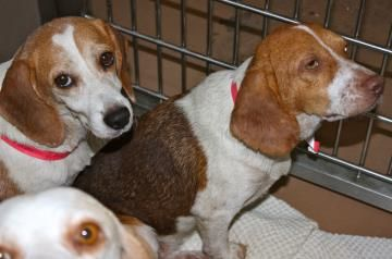 Petango Com Meet Cocco A 1 Year 6 Months Beagle Available For
