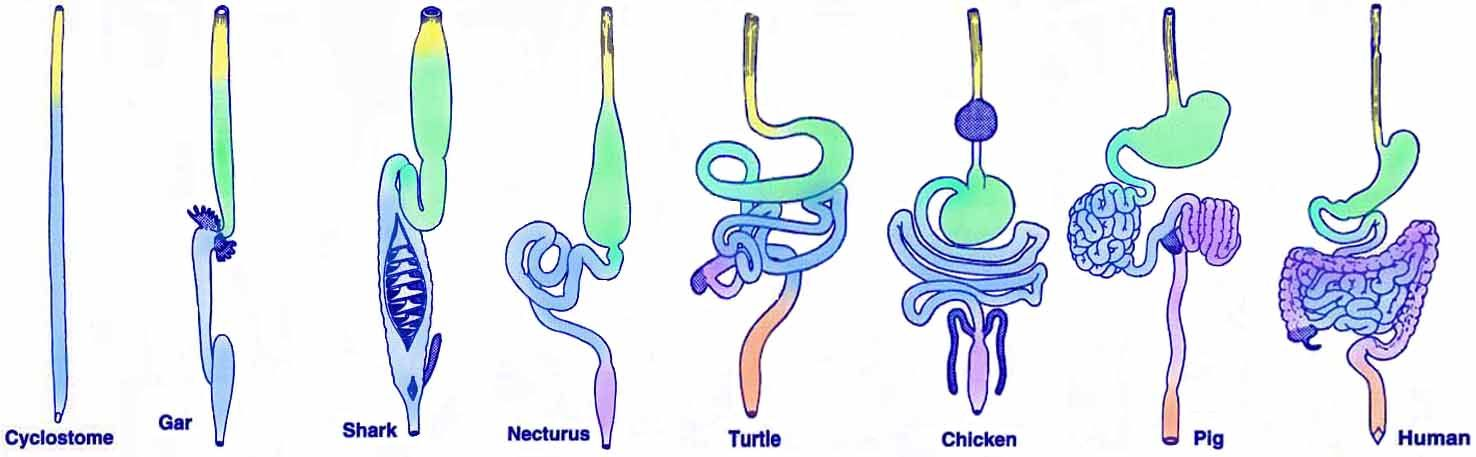 Gut Evolution: Changes in the length and ...