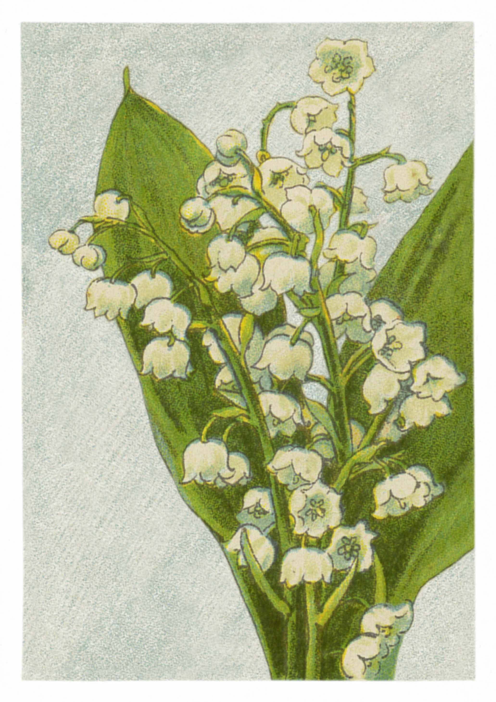 Lily Of The Valley Lovely Vintage Flower Prints Made In 1918 And