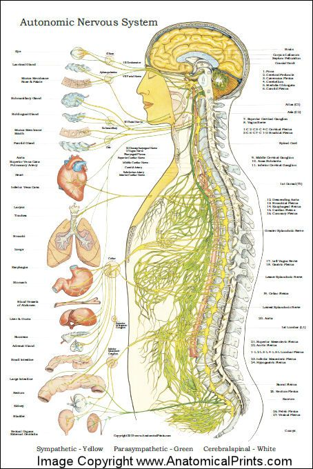 Autonomic Nervous System Poster | Anatomy | Pinterest | Nervous system