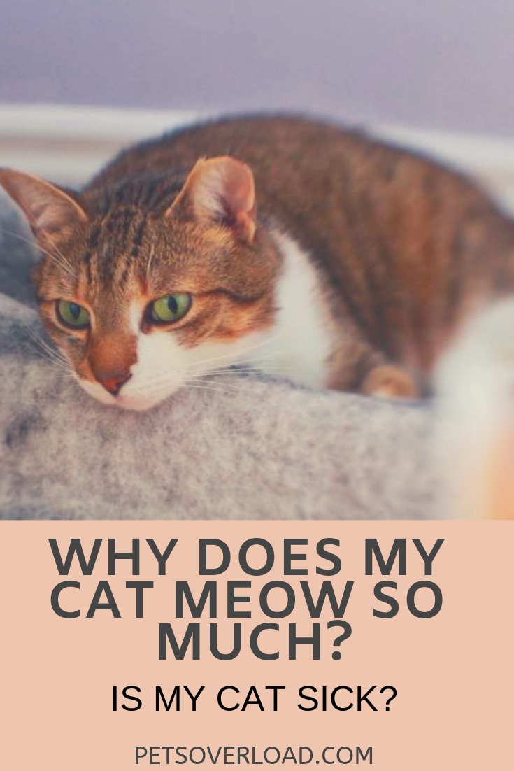 Why Does My Cat Meow So Much Is My Cat Sick Cats Cats Meow Cat In Heat