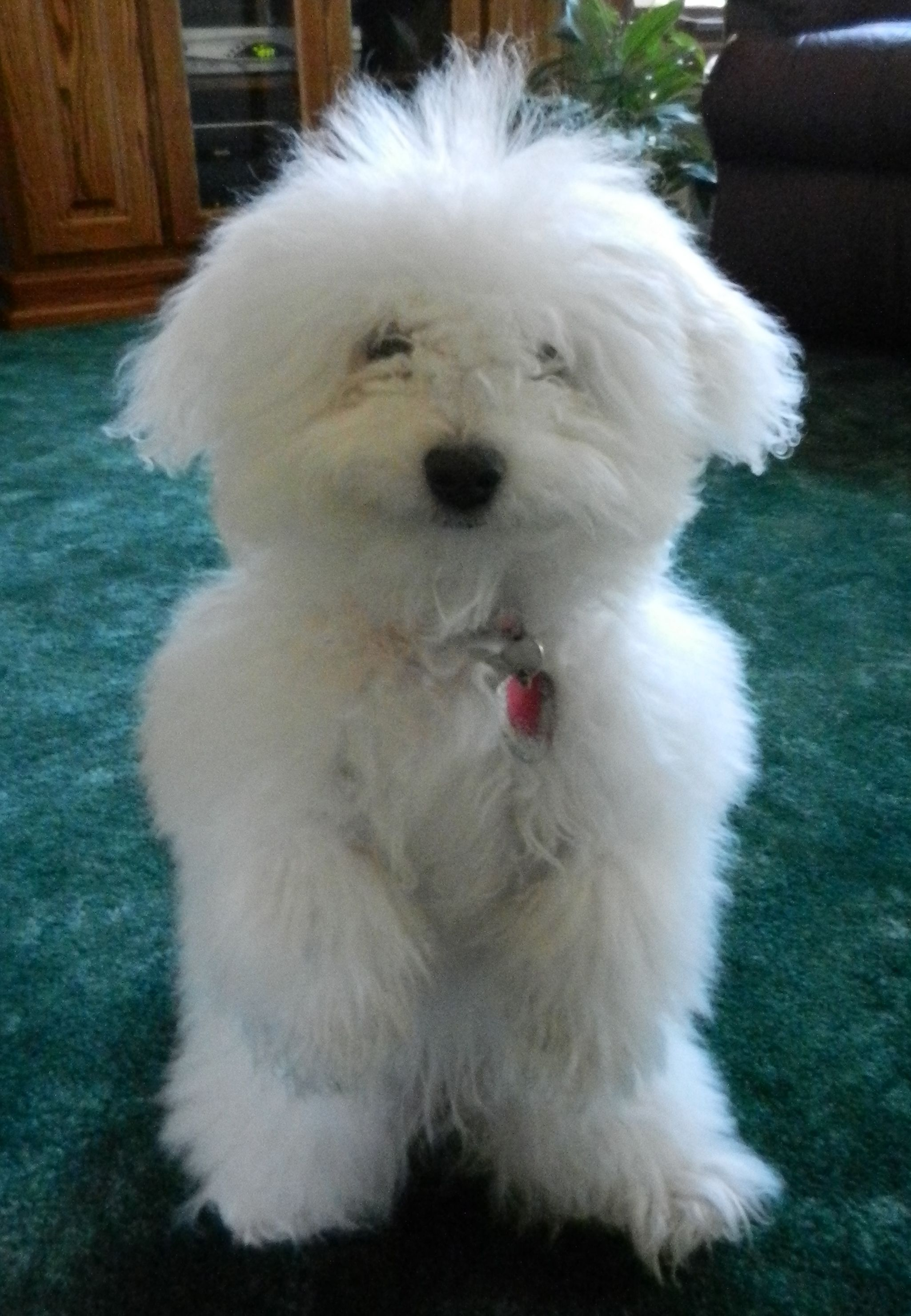 Bella 6 Months Old Doing Her Up Trick Fluffy Dogs Family Friendly Dogs Coton De Tulear Puppy