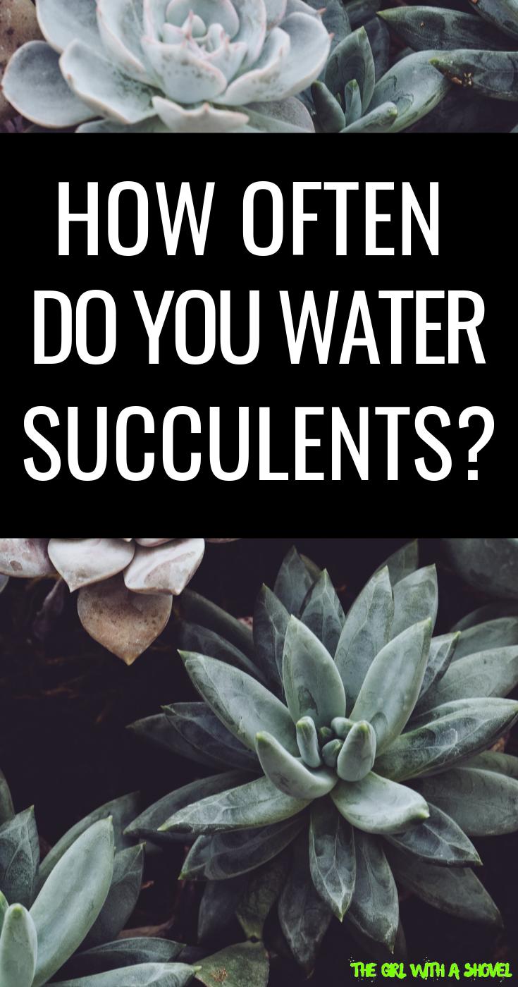 How Often Should You Water Succulents? Succulents
