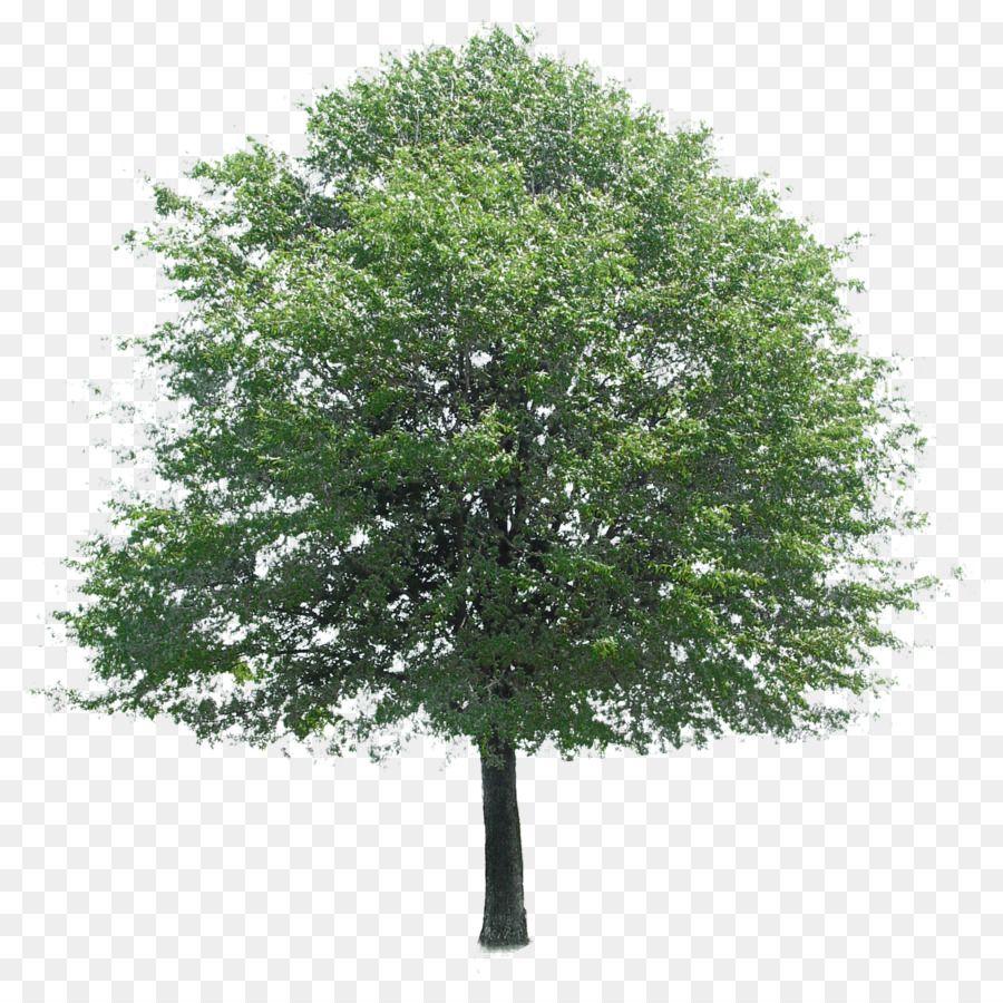 download oak tree png