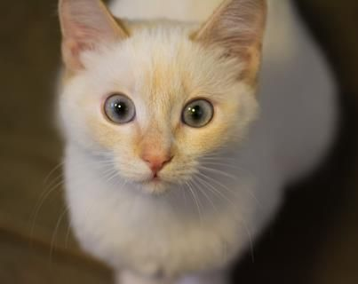 Muffin Is In Foster Care And Available For Adoption At Seattle Humane Pets Adoption Foster Care