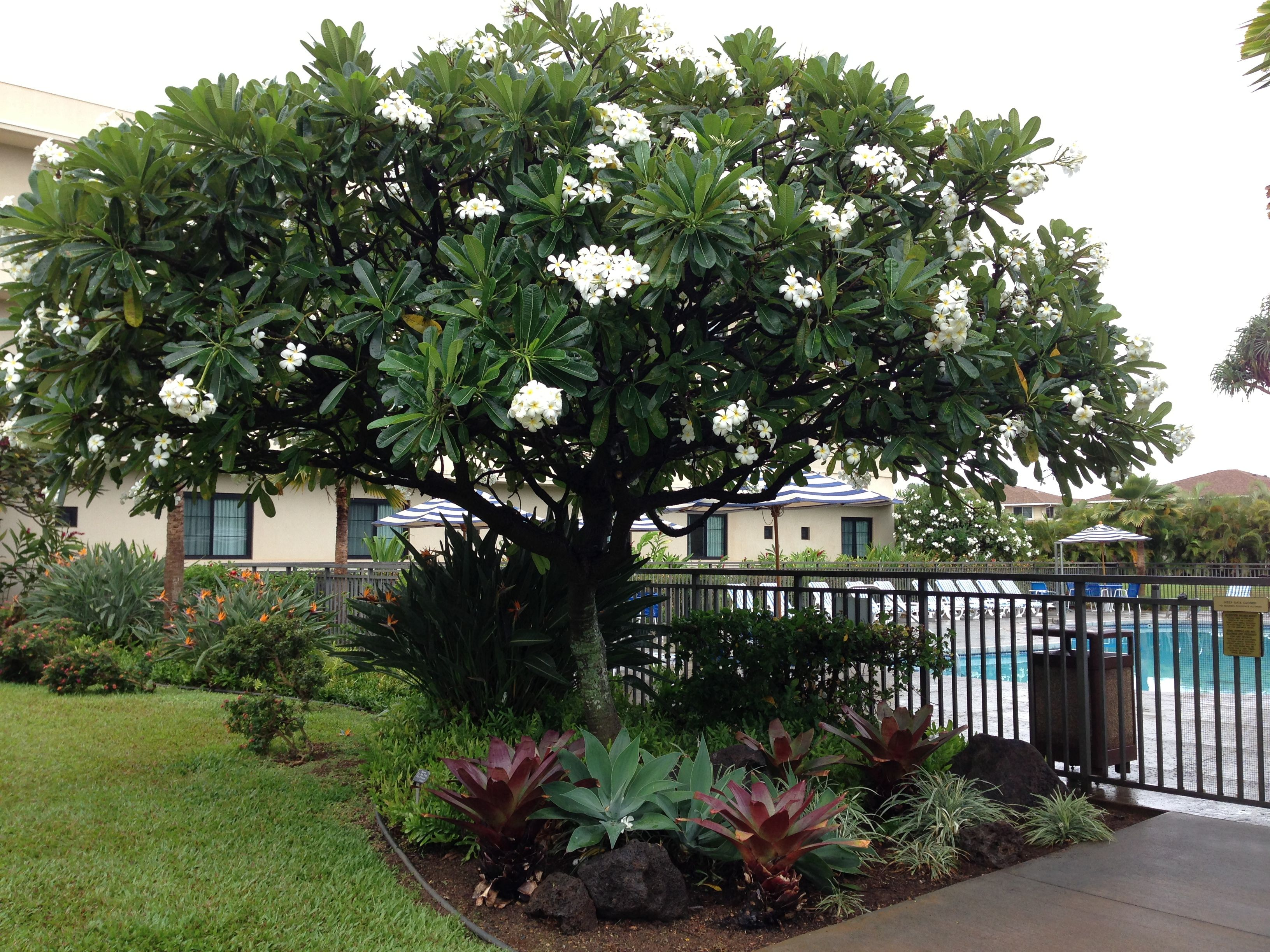 Plumeria tree hawaii pinterest plumeria tree for Plants and trees for small gardens