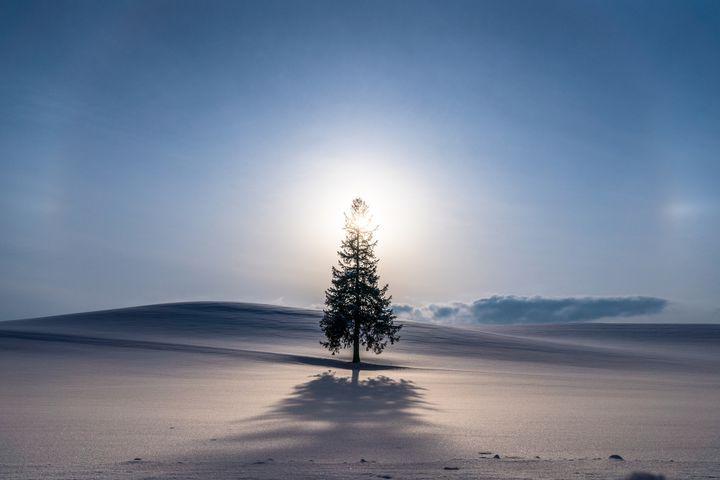 美瑛の丘 クリスマスツリーの木