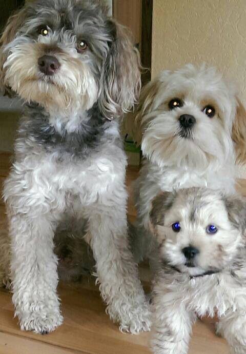 Bolonka Zwetna Dieren Honden