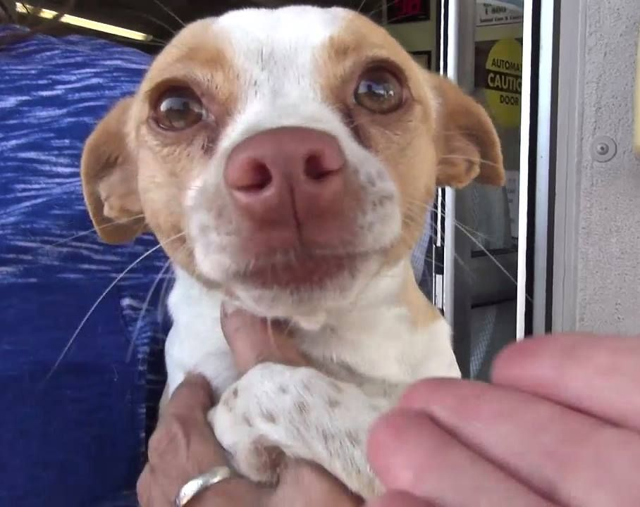 URGENT** TERRIFIED** *puppy* KODY was so terrified as she gets surrendered to the Shelter She is sweet but has some issues with children and would do best in a an adult only home.She was so scared of the other dogs he met in the kennel she was not doing well. Shelter is FULL  needs a FOSTER or ADOPTER   #A4943248- KODY - 1 year old female Chihuahua. at Carson Animal Care Center