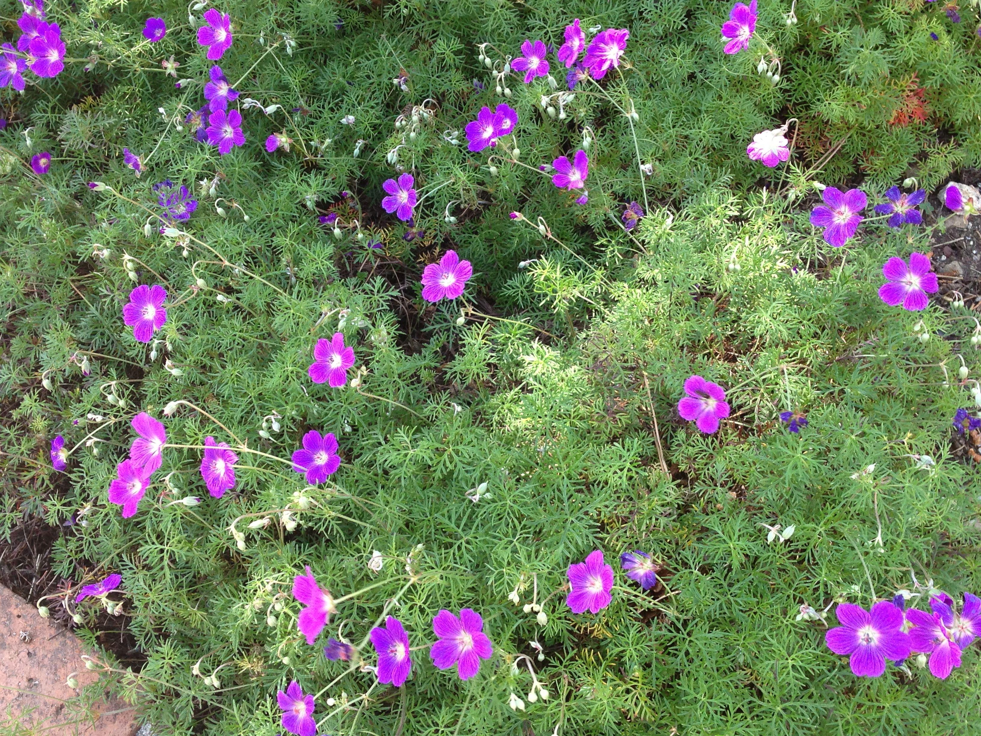 Purple Flowers With Foliage Like Asparagus Fern Asparagus Fern All About Plants Plants