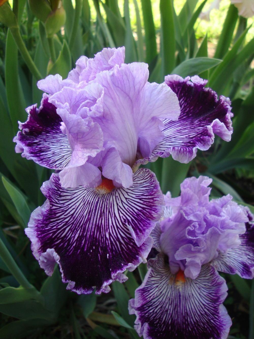 Photo of tall bearded iris iris captain thunderbolt uploaded by flowers garden izmirmasajfo Choice Image