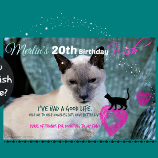 Merlin S Big 20th Birthday Shelter Cat Fund Hello My Name Is