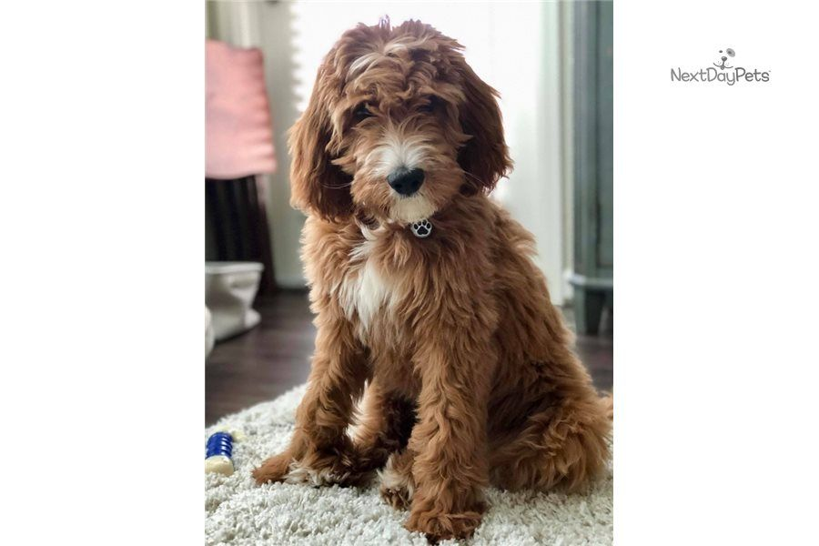 Bernepoo Dot Com Male Irishdoodle For Sale In 2020 Irish Doodle St Berdoodle Male