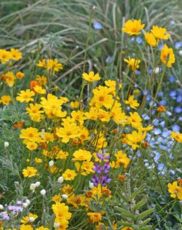 Item ID: 281  Genus: Coreopsis  Plant Lists: California Natives, Drought Tolerant, Deer Resistant, Plants For Cutting, Wild Life, Bee Plants, Butterflies  Plant Type: Flowering