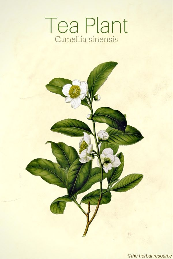 Tea Plant Camellia Sinensis Medicinal Plants Herbalism Plants