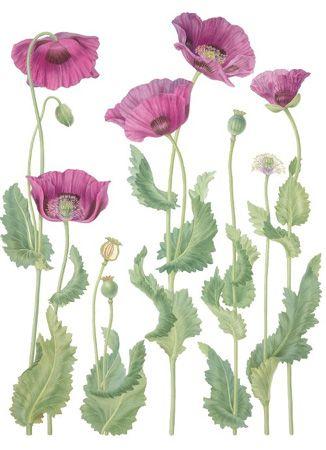 Gallery for opium poppy flower drawing paperplay pinterest art gallery for opium poppy flower drawing mightylinksfo