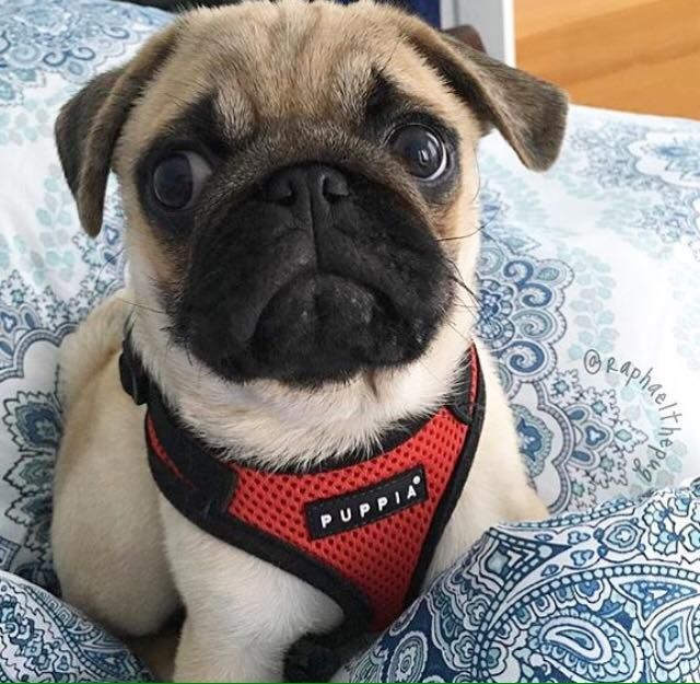 Red Puppia Ritefit Harness Available At Www Ilovepugs Co Uk Sizes