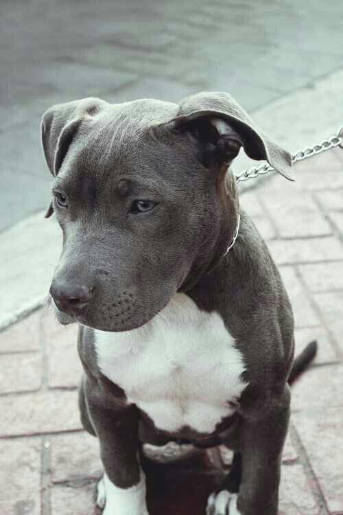 The Little White Patch On His Chest Cute Animals Pitbull