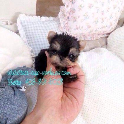Miss Amazing Tea Cup Yorkie Betty S Yorkies Cute Baby Animals