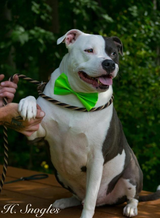 Adopt Duke No Adoption Fee On Petfinder Pitbull Puppies Dog Adoption Humane Society