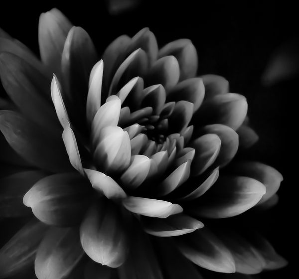 Dahlia flower in black and white photography http fineartamerica com featured dahlia bw i athena mckinzie html