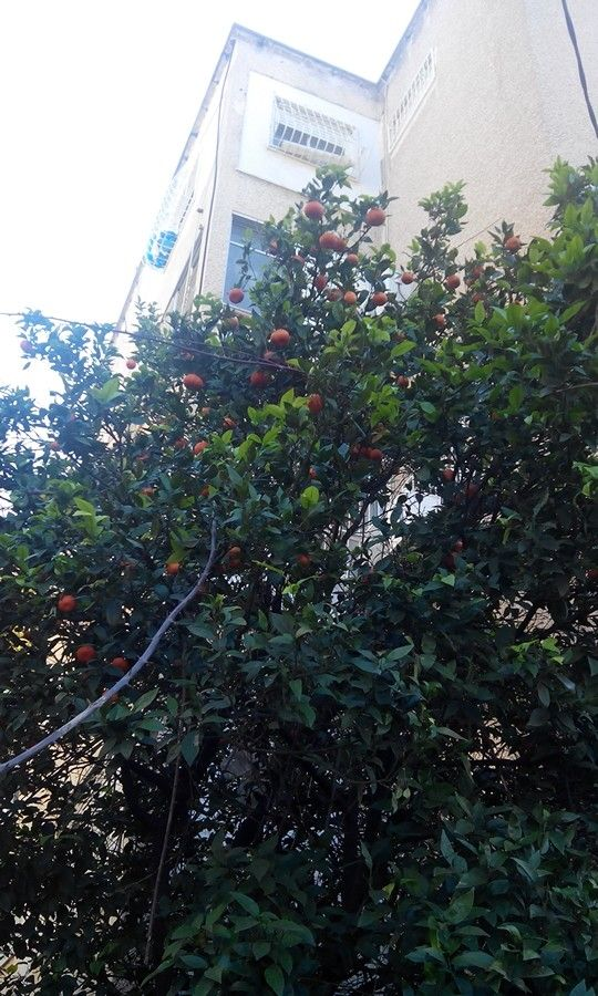 This Orange tree is very close to my house just pick your hand and....