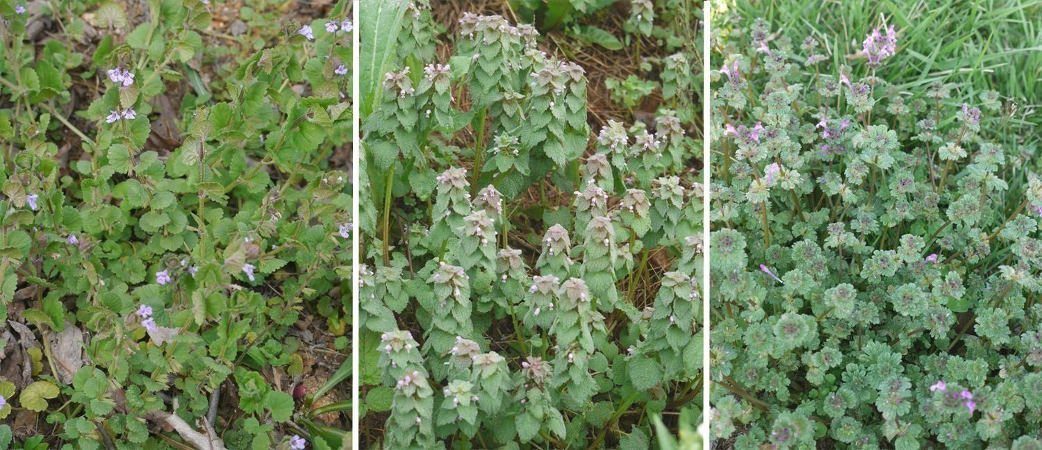 Three easily mixed up early spring plants ground ivy