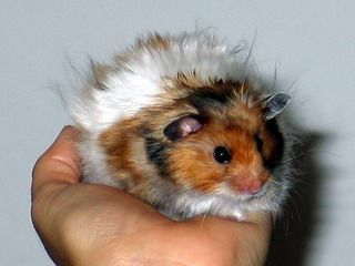 Golden banded satin longhaired syrian hamster for Criceti dorati