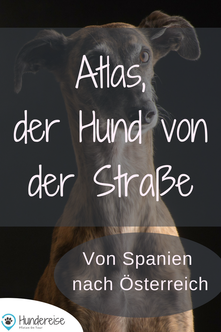 Atlas Erzahlt Aus Dem Leben Mit Bildern Hunde Windhund Hundeliebe