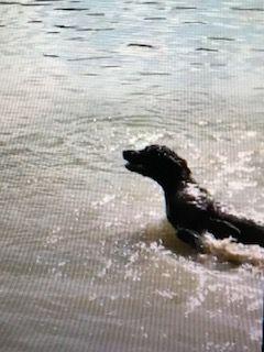 Litter Of 3 Boykin Spaniel Puppies For Sale In Hawkinsville Ga