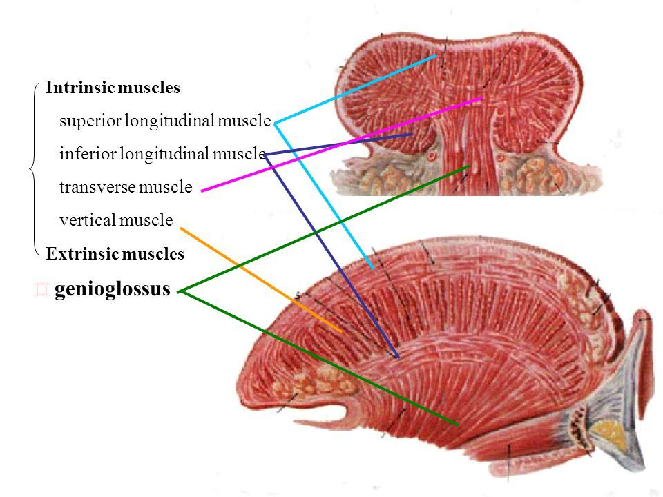 Pin by SJC on slp anatomy | Tongue muscles, Anatomy, Muscle