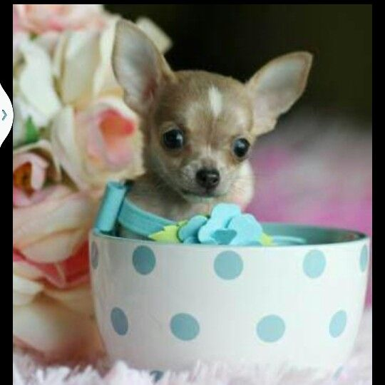Teacup Teacup Chihuahua Puppies Chihuahua Puppies Teacup Puppies