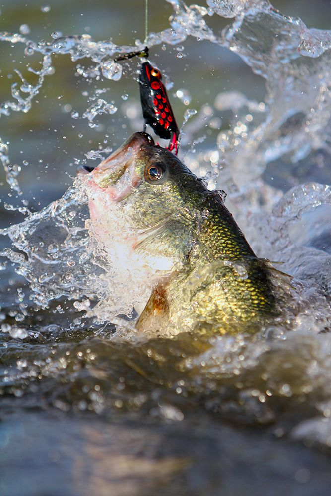 Bass fish jumping bass fishing catching a bass jumping for How to catch bass fish