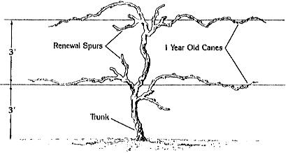How To Grow Grapes Garden Vines Fruit Garden