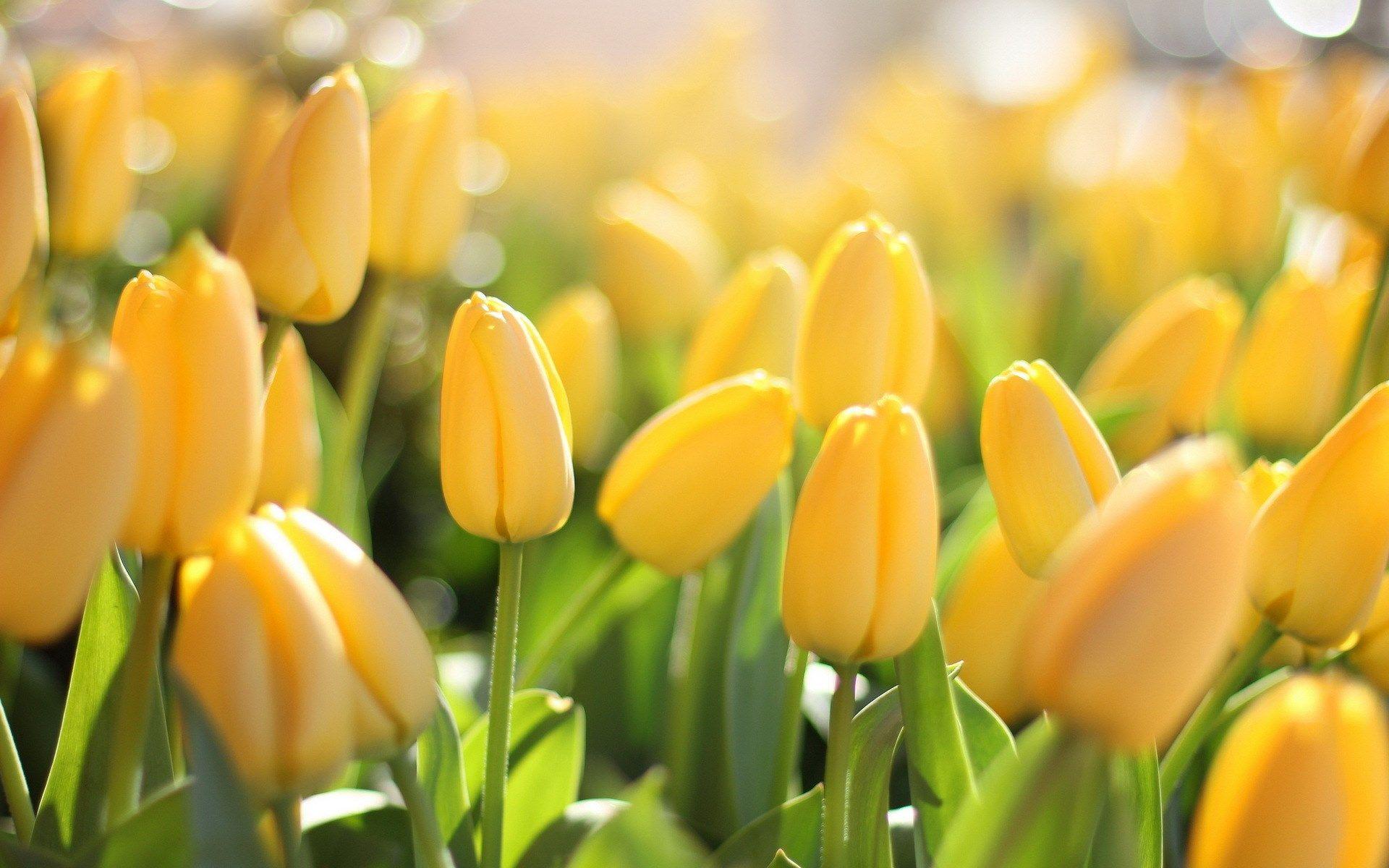 macro field of yellow tulips flowers closeup lights bokeh