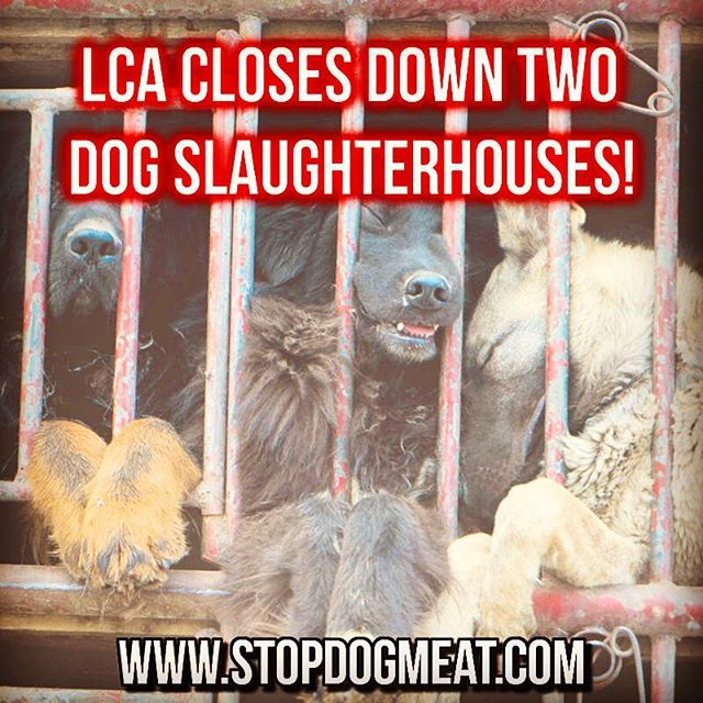 BREAKING:  LCA closes 2 dog slaughterhouses in China! www.stopdogmeat.com