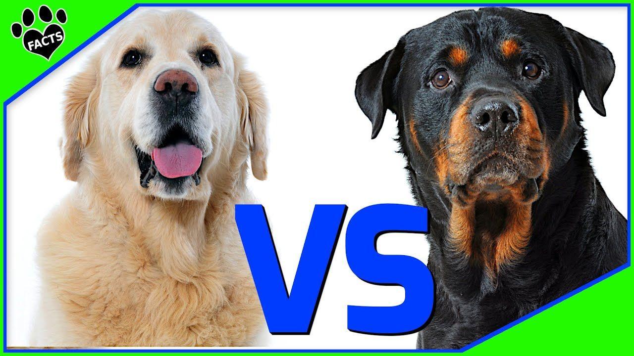 Golden Retriever Vs Rottweiler Which Is Better Dog Vs Dog In 2020 Dog Vs Dog Retriever Golden Retriever