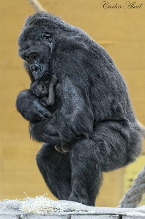 Baby Gorilla (by Abadgg)