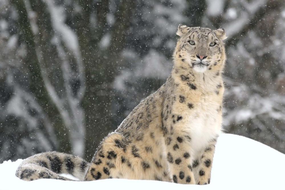 snow leopard Snow leopard habitat, Rare animals