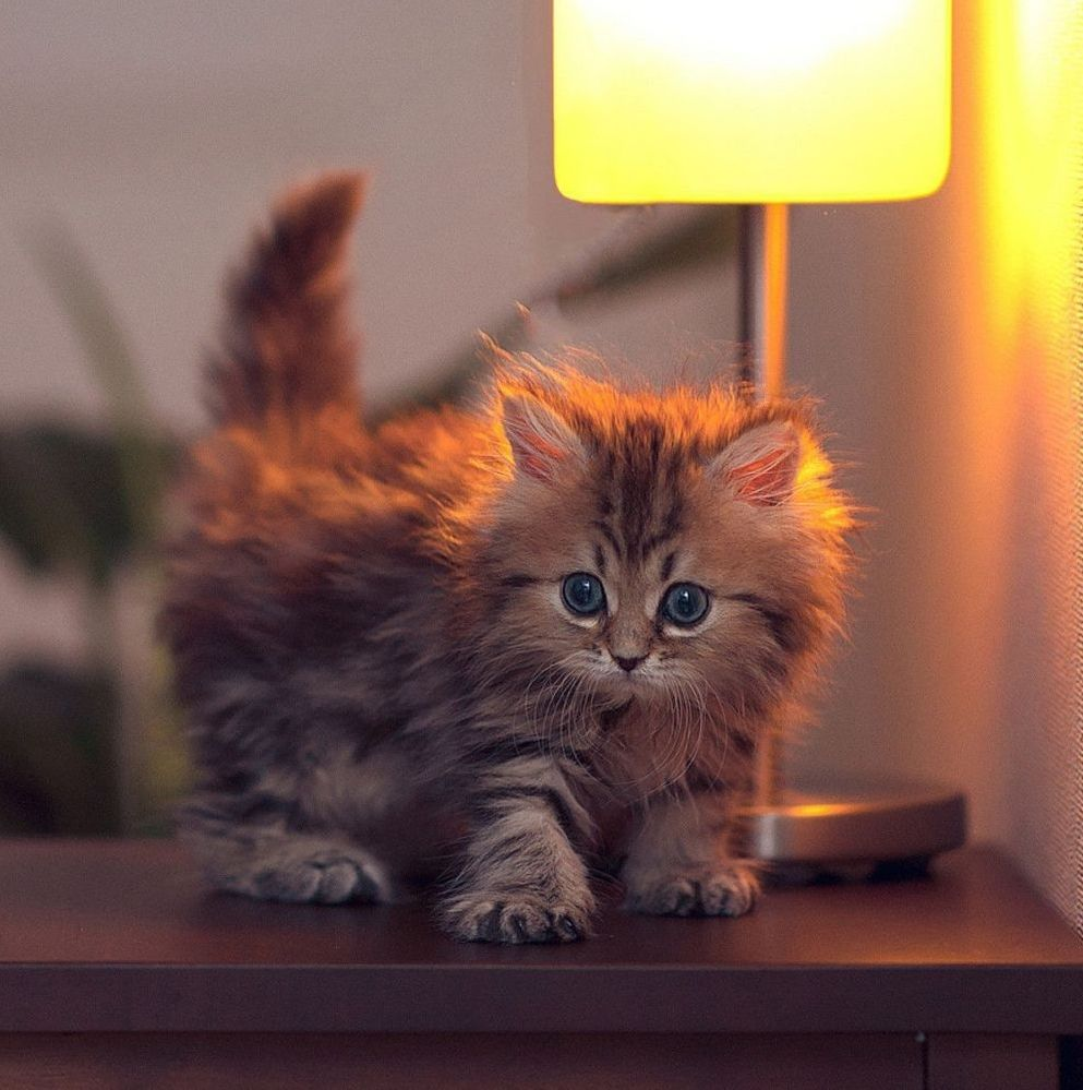 Cute Fluffy Kitten Keeping Warm Under The Bedside Lamp